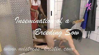 Female Butcher inseminates a Sow in the Slaugther House